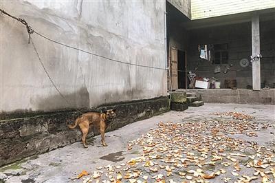 李欢家门前晾晒的橘皮,这里盛产柑橘,每年夏末秋初,家家户户都忙着收橘子。新京报记者 党元悦 摄